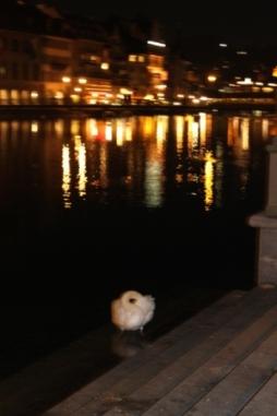 A sleeping swan...